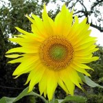 Les tournesols sont semés chaque année, pour le plaisir des yeux et les oiseaux sauvages qui picorent les graines