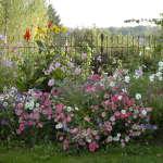 Jardin en Mouvement, les cosmos