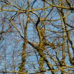 Entrelas de branches de hêtres dans notre bois