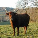 Une vache Salers majestueuse, avec ses cornes en forme de lyre