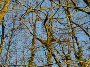 les branches de hêtres entrelacées