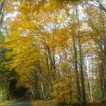 Magnifique bois de hêtres sur la route de Calvinet à Marcoles. Je pense à G.Klimt à chaque fois que je traverse ce bois!
