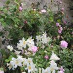 Roses mousse et lys, juin 2016