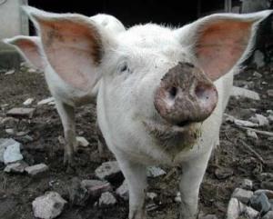 cochon en Châtaigneraie cantalienne