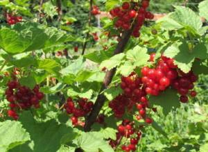 Groseillers du jardin, gite de la Rouquette Cantal