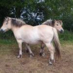 Rencontre avec des chevaux Fjord