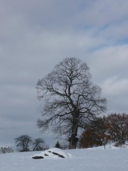 Sur le chemin de Calvinet, un chêne japonisant