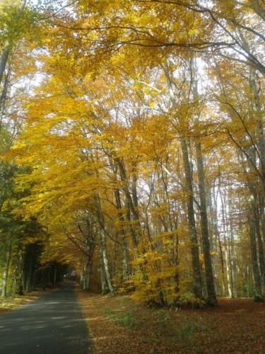 Sur la route de Calvinet à Marcoles, bois de hêtres aux feuilles dorées