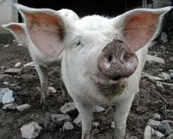 Cochon en Châtaigneraie